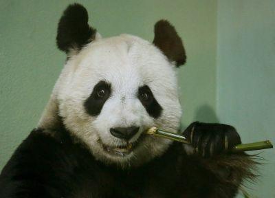 Panda Tian Tian kao kamen spoticanja Foto: Profimedia