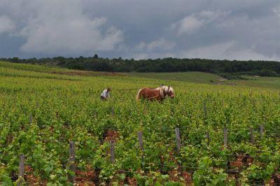 Tradicionalna obrada u vinogradu Romane_Conti