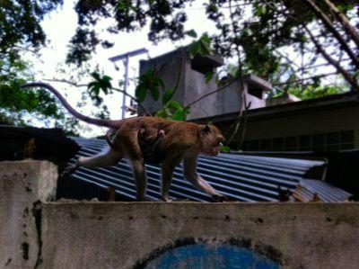 Majmuni nisu omiljeni kod lokalaca