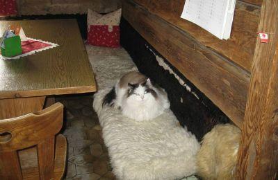 Domaća mačka u bajti na Secedi (Val Gardena)